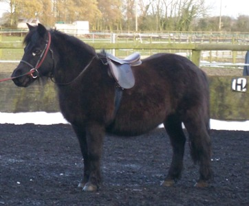 Jessie shetland pony from Horse Rescue Fund charity.jpg
