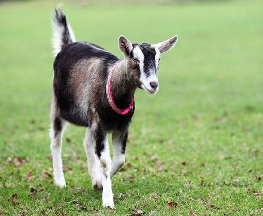 Natalie the goat from Buttercups animal charity.jpg