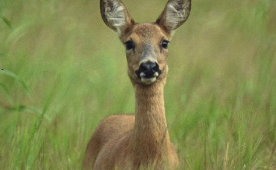 Previous Page Button British Deer Society |...