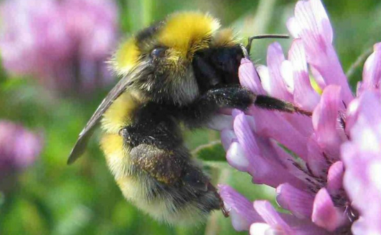 Bumblebee Conservation Trust profile image 1