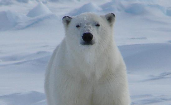 hauser-bears-16908 -  - image 1