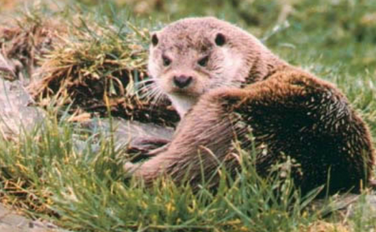 international-otter-survival-fund-1134 -  - image 1