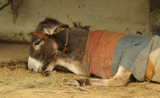 Help the Brooke to reach donkeys like Reema, who was found paralysed in a swamp