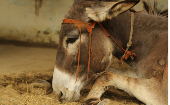 You'll be helping the Brooke to reach donkeys like Reema, who was found paralysed in a swamp