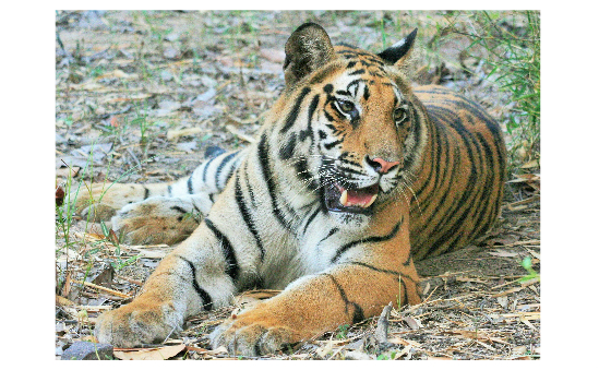 Tiger Awareness profile image 7