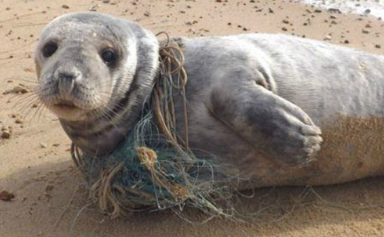 Sponsor a seal rescue - seals like this need our help!